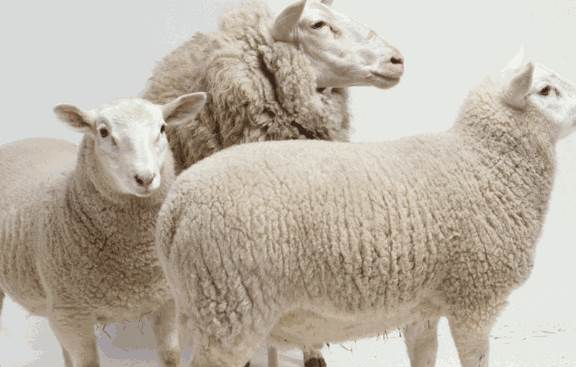 生肖羊如何在职场上顺风顺水?生肖羊职场成功秘笈-生肖羊-风水八字同城网