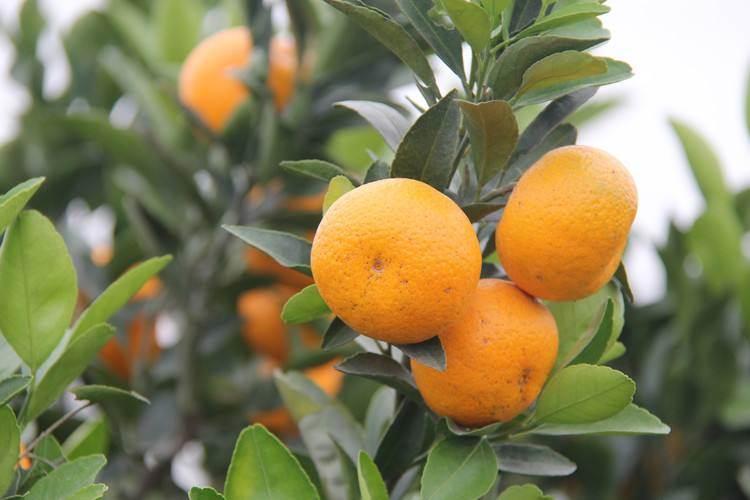 植物风水:院子里种什么果树比较好?有什么风水作用?-风水八字同城网