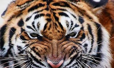 出身在这5个月的属虎者最好命-风水八字同城网